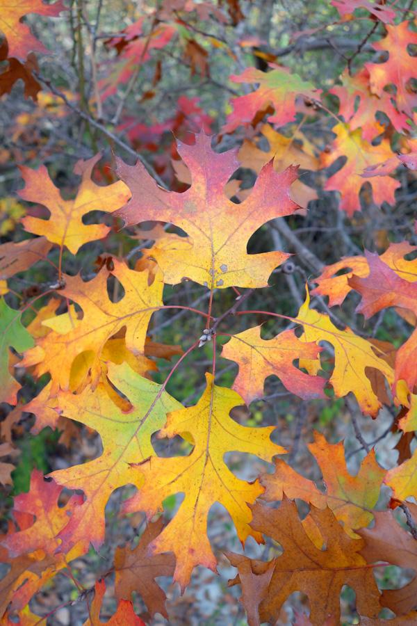 Oak cluster