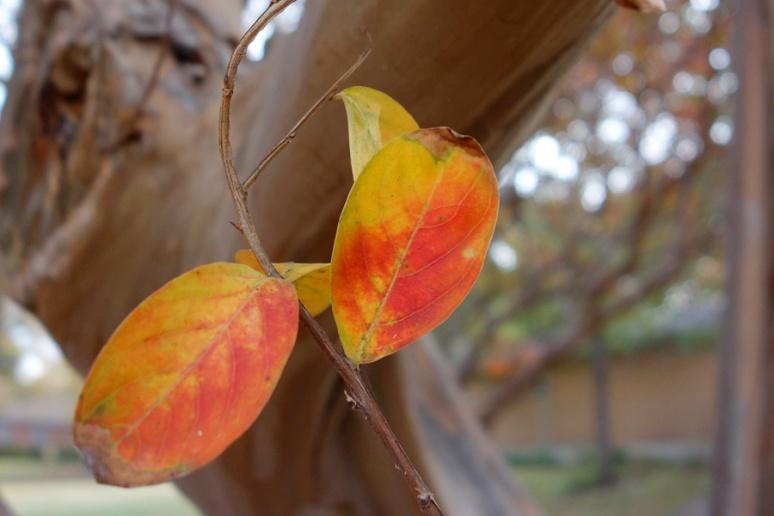 Crepe myrtle leaves