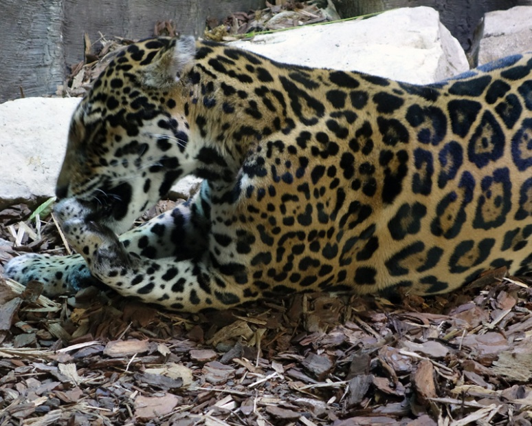 This is the jaguar I mentioned I wouldn't be mentioning.