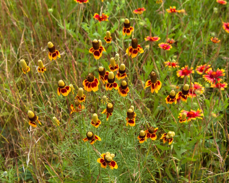 Mexican hat and blanketflower