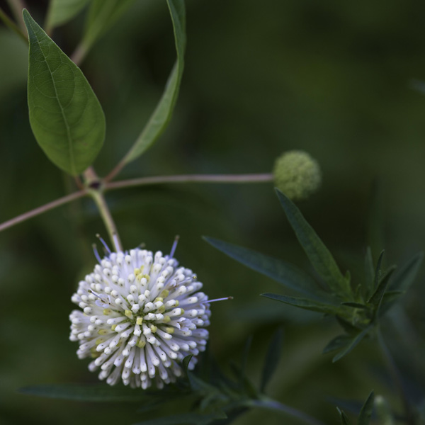 Buttonbush bloom in all its glory