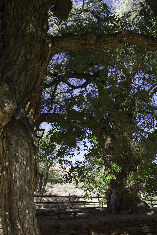 Cottonwood, picnic grounds, Capitol Reef