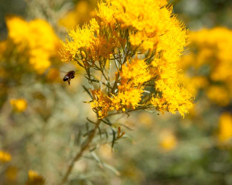 Bee + Rabbitbrush