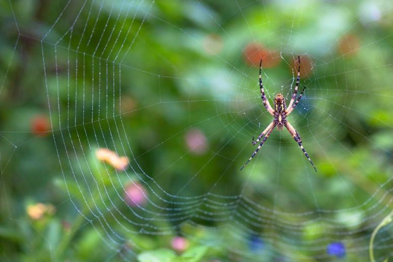 Black & yellow garden spider (Argiope aurantia)